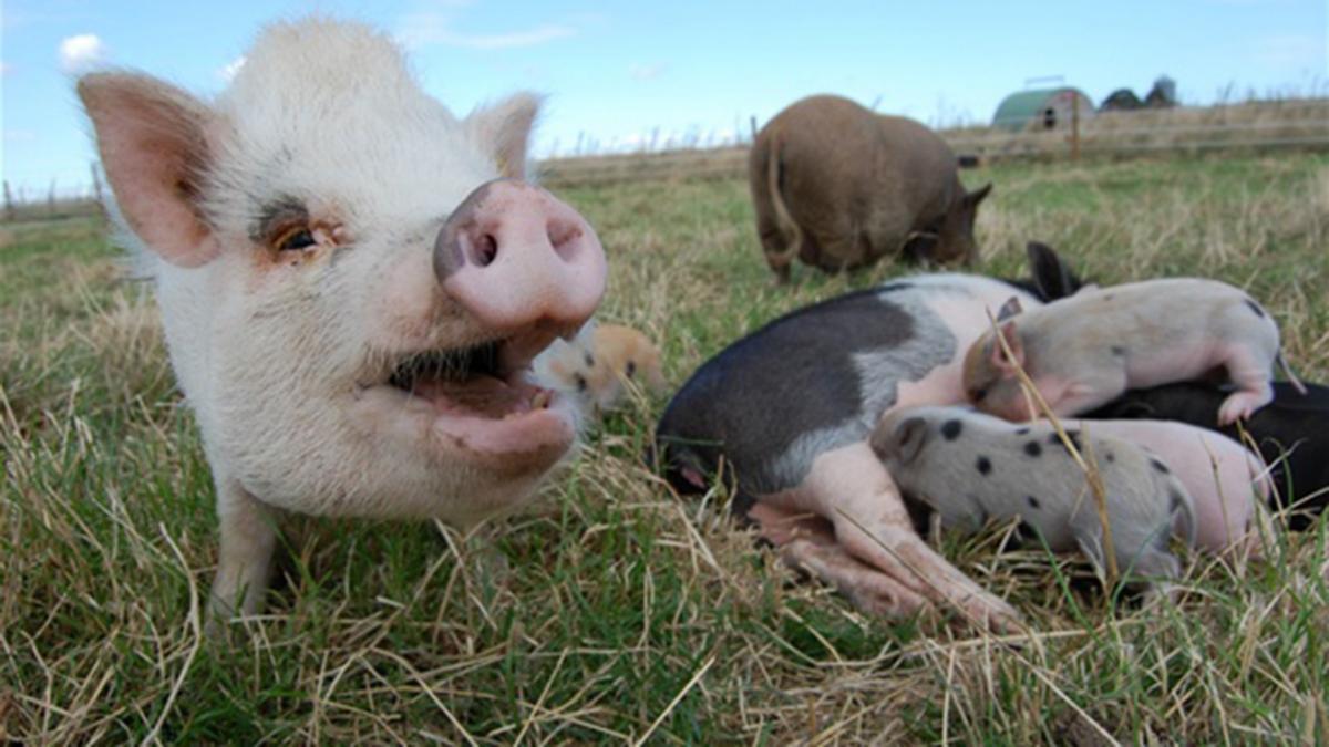 hvor meget spiser en gris om dagen