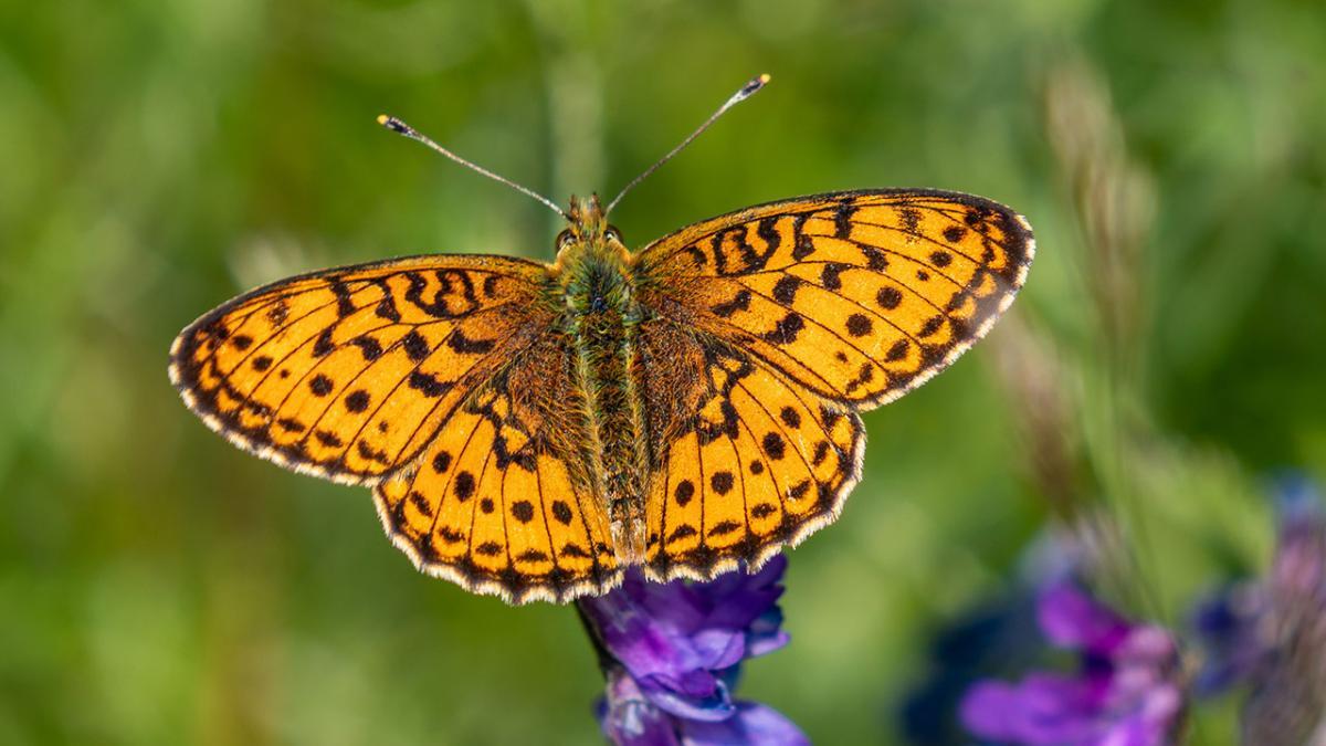 Mød 8 truede og flotte sommerfugle i den...