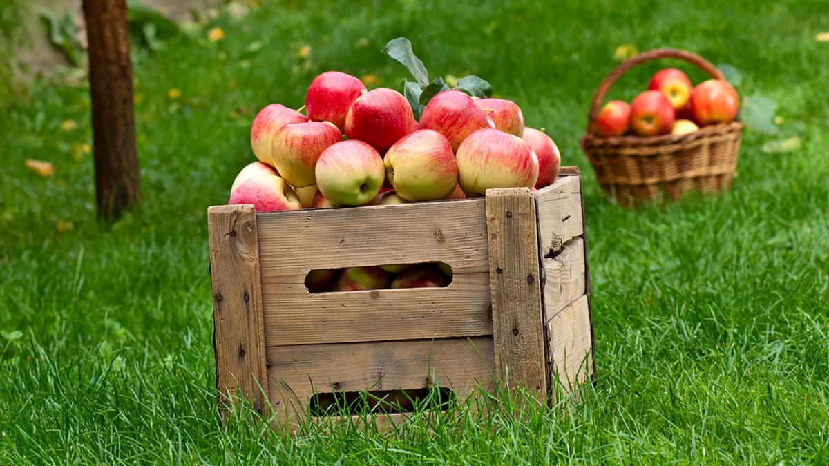 hvornår plukker man æbler