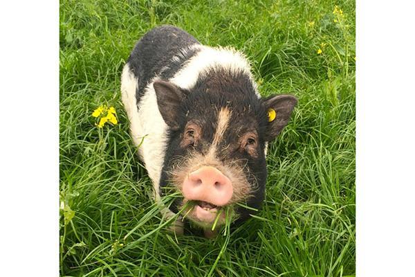 verdens mindste gris