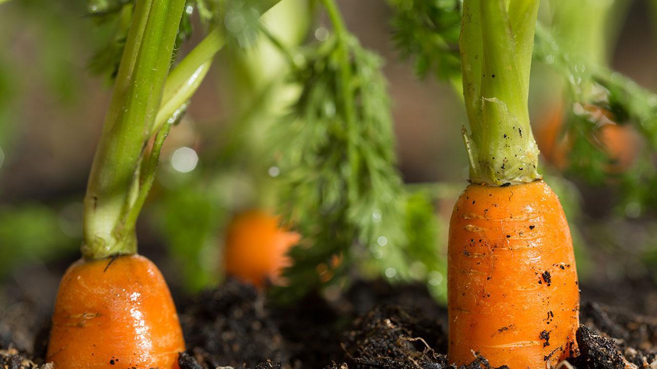 gulerødder vitaminer og mineraler