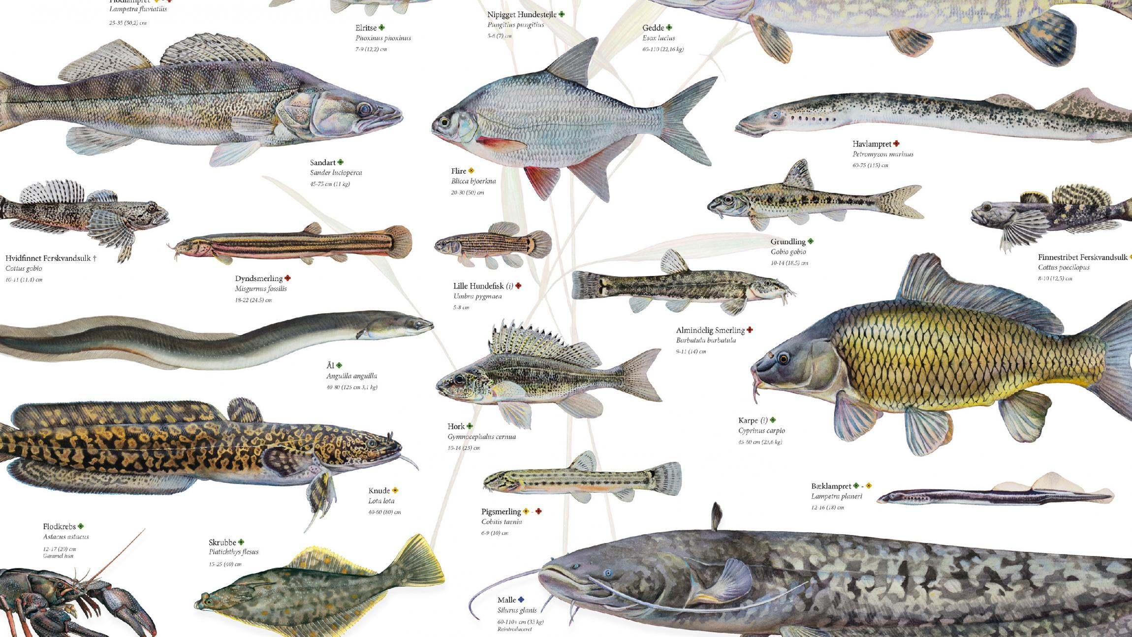 ferskvandsfisk i danmark