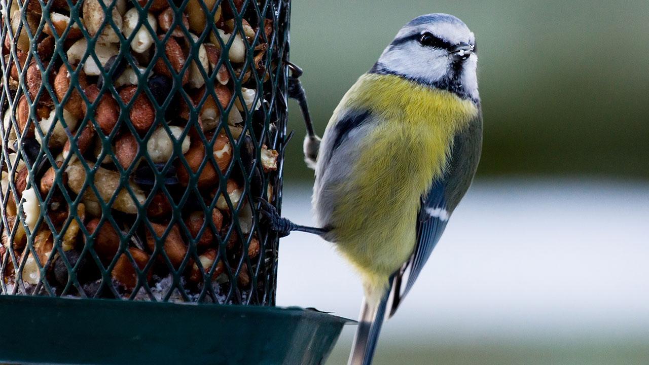 Ungdommelige God stil på foderbrættet: Den rigtige fuglefodring | Samvirke FT12
