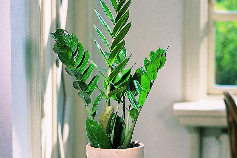 stueplanter i direkte sol