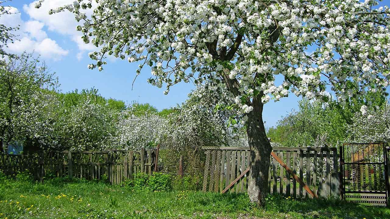 selvbestøvende æbletræ