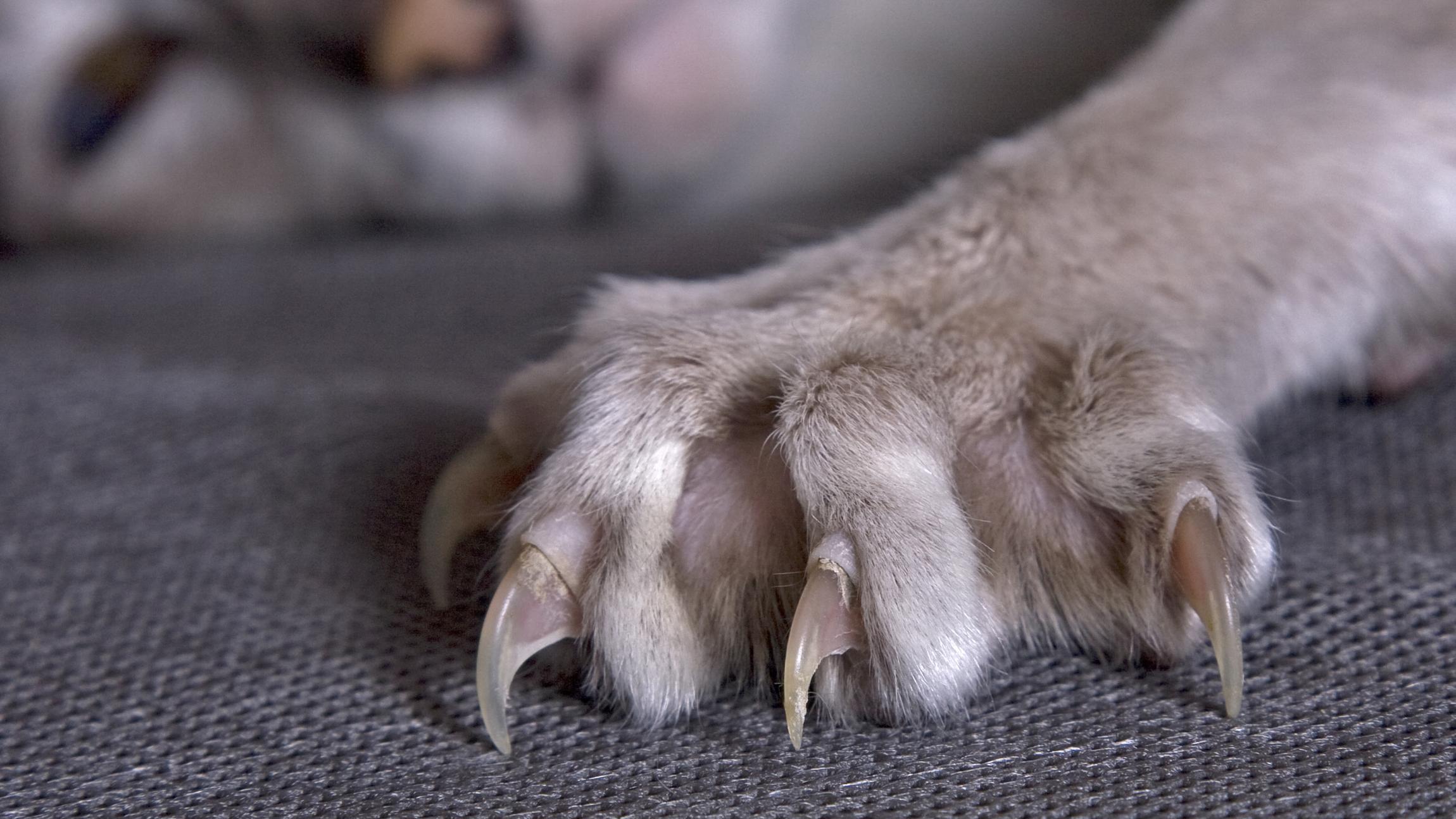 klipning af katteklør