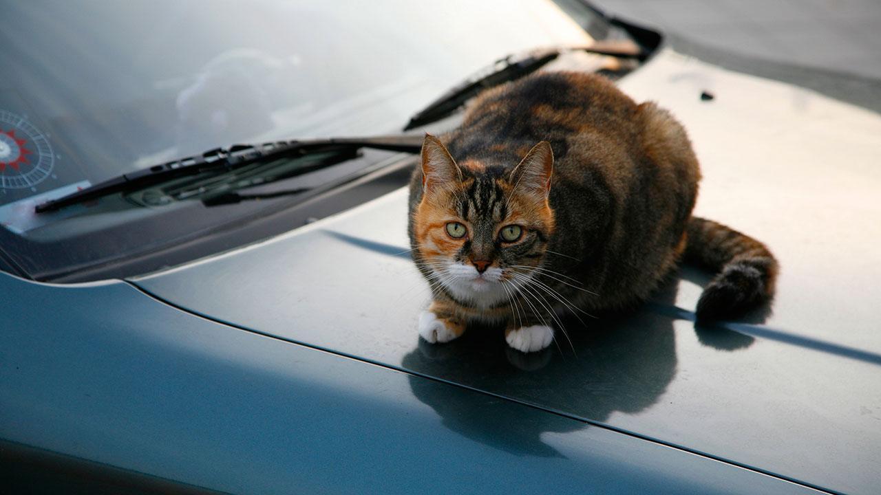 citronolie mod katte