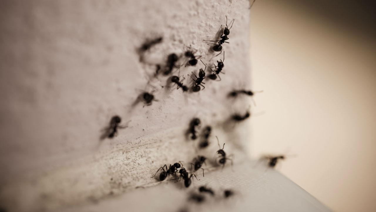 myrer kanel